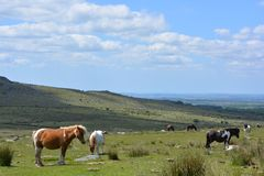 Dartmoor ponies in Dartmoor National Park, England. royalty free stock photos