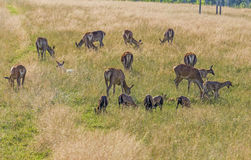 Herd of dear with calves Stock Photography