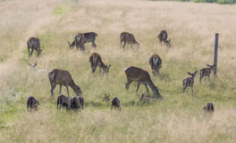 Herd of dear with calves Royalty Free Stock Photo