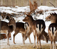 Herd of deer. A group of deer in winter Royalty Free Stock Photo