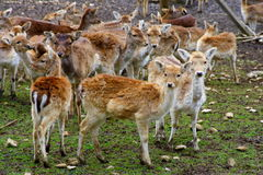 Herd of deer. On  field in Chartreuse National Park, France Royalty Free Stock Photo