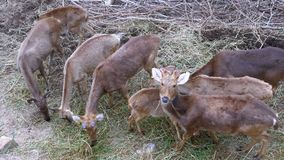 Herd of deer with antlers in the wild grazing on the meadow and eating grass. Thailand. stock footage