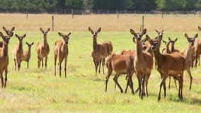 Herd of deer, argodom, stock video footage