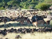 Herd Of Deer. In Casela Nature Park, Mauritius Island Stock Photos