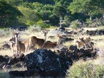 Herd Of Deer. In Casela Nature Park, Mauritius Island Stock Photography