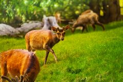 Herd of deer Stock Image