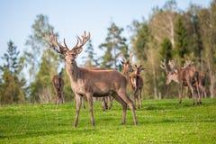 Herd of deer in countryside Royalty Free Stock Image