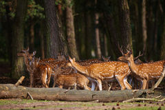 Herd of deer in a dark forest Stock Images