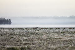 A herd of deer early in the misty morning walks on the field dur. Ing the rut. Belarus, Naliboki forest Stock Photo
