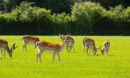 Herd of deer English countryside New Forest Hampshire southern uk Stock Photo