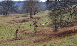 Herd of Deer in an English Park. Herd of Fallow Deer in an English Park Stock Photos