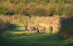 Herd of deer in the fall at sunset Stock Photos