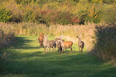 Herd of deer in the fall at sunset Royalty Free Stock Images