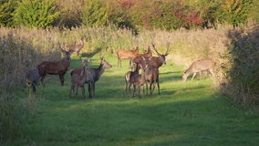 Herd of deer in the fall at sunset. Herd of wary deer in the fall at sunset in the province of Flevoland in the Netherlands stock video