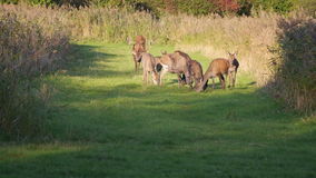 Herd of deer in the fall at sunset Royalty Free Stock Photo