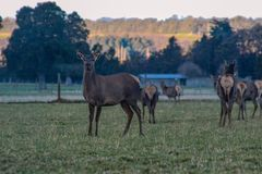 Herd of deer on farm in New Zealand royalty free stock image