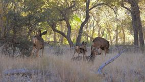 Herd Of Deer With Fawns Graze And Rest In Shade Of Trees Grove In Zion Park. A herd of deer with fawns grazing in the meadow and lie resting in the shade of a stock footage