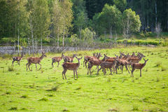 Herd of deer in field Royalty Free Stock Photography
