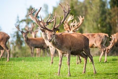 Herd of deer in field Royalty Free Stock Photo