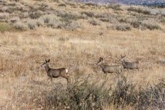 Herd of deer in field. Royalty Free Stock Photos