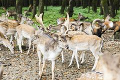 Herd of deer in the forest Stock Photography