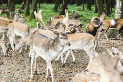 Herd of deer in the forest Royalty Free Stock Images