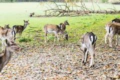 Herd of deer in the forest Stock Photos