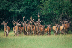 A herd of deer in a  forest Stock Photography
