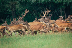 A herd of deer in a  forest Royalty Free Stock Photos