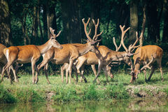 A herd of deer in a  forest Royalty Free Stock Photography