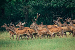 A herd of deer in a  forest Stock Photo
