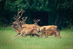A herd of deer in a forest. A herd of deer in a green forest royalty free stock photography