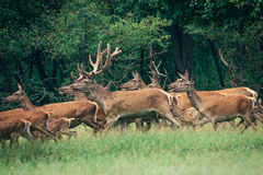 A herd of deer in a  forest Stock Images