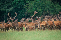 A herd of deer in a  forest Stock Photos