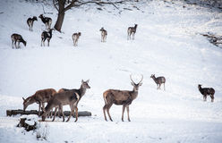 Herd of deer Royalty Free Stock Photography