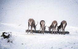 Herd of deer Stock Photography