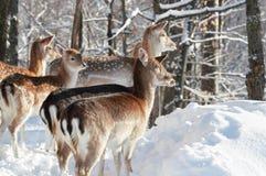 Herd of deer Stock Image