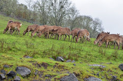 Herd of Deer grazing Stock Images
