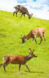 Herd of deer grazing in the meadow Stock Photo