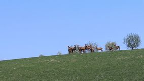 A herd of deer grazing in the spring on a green meadow. Wild animals in captivity. Conservation of Nature and Reduction of the Pop stock video footage
