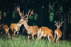 A herd of deer in a green forest Royalty Free Stock Photography