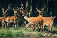 A herd of deer in a green forest Stock Images