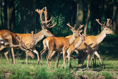 A herd of deer in a green forest Stock Photos