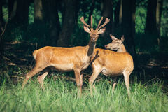 A herd of deer in a green forest Stock Image