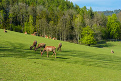 A herd of deer on a green pasture at the sunset. Spring-breeding youngsters. Field in the woods. Fallow deer in the field Royalty Free Stock Photo