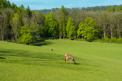 A herd of deer on a green pasture at the sunset. Spring-breeding youngsters. Field in the woods. Fallow deer in the field Stock Photo