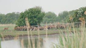 Herd of red deer about to cross water. Herd of deer hesitating to cross a stream in nature reserve, netherlands stock video