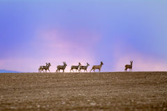 Herd of deer on the horizon Royalty Free Stock Photos