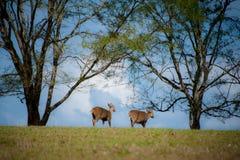 Herd of deer Royalty Free Stock Photo