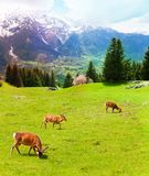 Herd of deer in the mountains Royalty Free Stock Photography